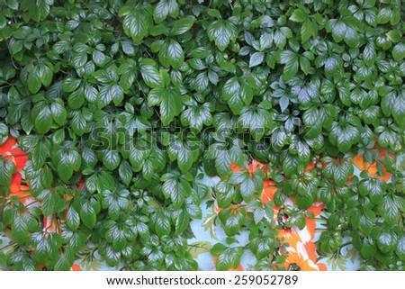 Jiaogulan lat. Gynostemma pentphyllum on colored background - stock photo