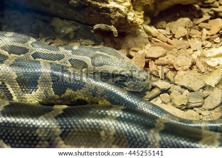Jiboia (Epicrates cenchria) is a boa species endemic to Central and South America. - stock photo
