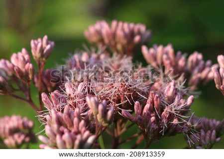 Joe-pye Weed flower - stock photo