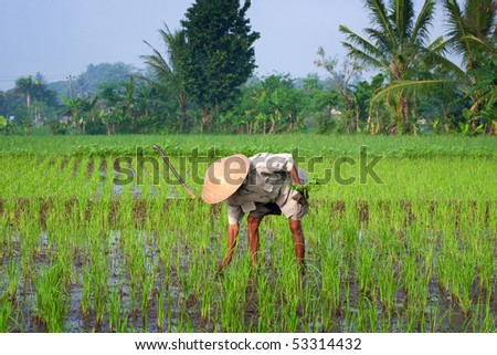 JOGJAKARTA, INDONESIA - MAY 15: Old farmer tends to his young paddy seedling in the paddy field May15, 2010 in Jogjakarta. Indonesia is currently the world's 4th largest producer of rice in the world