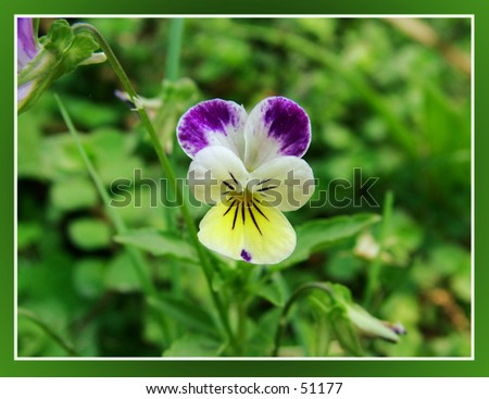Johnny Jump Up's flower - stock photo