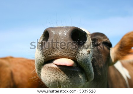 Joke is on you says the cow - stock photo