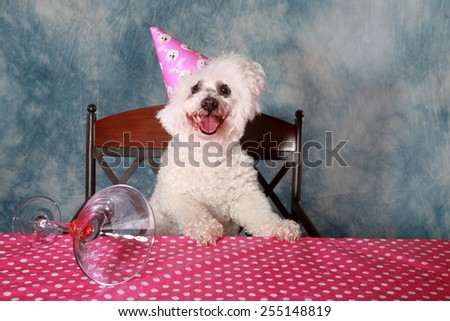 Jolie a Pure Breed Bichon Frise dog celebrates her 12th Birthday.  - stock photo