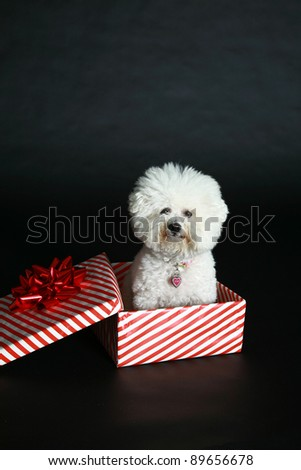 Jolie a pure breed Bichon Frise wears Christmas Bow and sits beside a christmas present box wishing everyone a Happy Holiday - stock photo