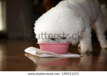 Jolie and Chloe both pure breed Bichon Frise dogs enjoy their doggy dinner on fine evening - stock photo