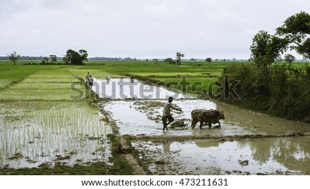 JORHAT, INDIA - AUGUST 23, 2011: Farmer and co-workers prepare paddy fields on a wet monsoon morning surrounded by a landscpae of paddy on August 23, 2011 near Jorhat, Assam, India.