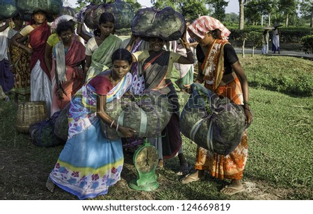 JORHAT, INDIA - AUGUST 30: Unidentified harvesters weigh their day's pickings of tea leaves on August 30, 2011 in a plantation near Jorhat in Assam, India on a bright sunny day.