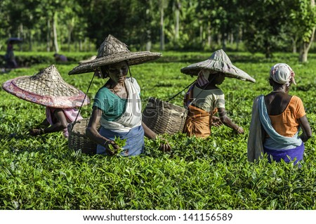 JORHAT, INDIA - AUGUST 30: Women wearing bamboo hats and traditional clothes harvest tea leaves on a tea plantation on August 30, 2011 in Jorhat, Assam, India. - stock photo