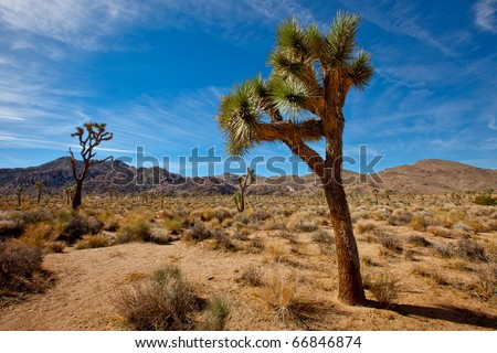 Joshua Tree - stock photo