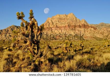 Joshua Tree at Red Rock Canyon near Las Vegas - stock photo