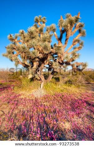 Joshua Tree at sunrise. - stock photo