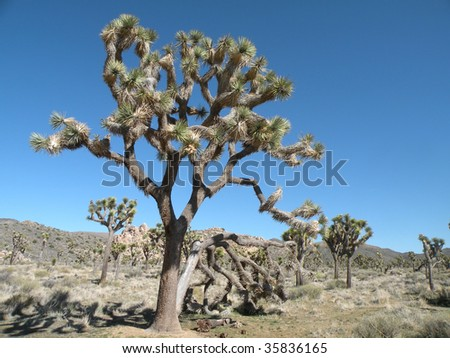 Joshua tree growing in Joshua Tree National Park, California