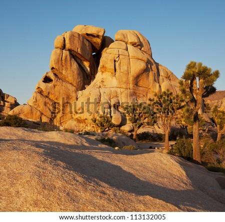 Joshua tree in  desert - stock photo