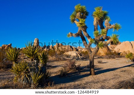 Joshua Tree in Joshua Tree National Park, California, USA - stock photo