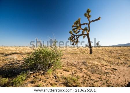 Joshua Tree in Joshua Tree National Park, USA - stock photo