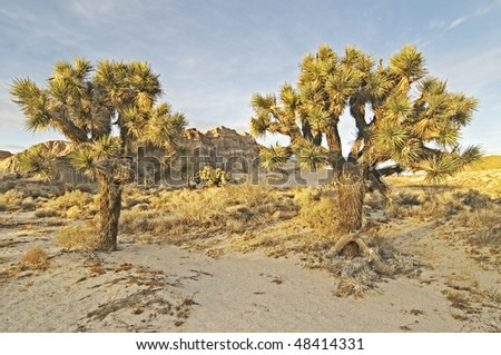 Joshua tree in Red Cliffs Natural Preserve of Red Rock Canyon, CA. - stock photo