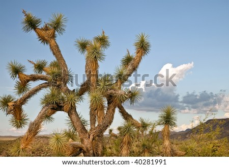 Joshua tree in the Arizona desert against a blue sky with fluffy white clouds. - stock photo