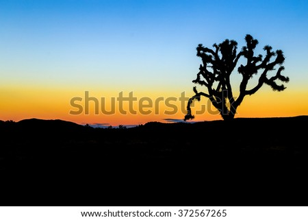 Joshua tree in the park at sunset