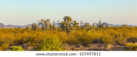 joshua tree in warm bright light - stock photo