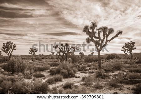 Joshua Tree Landscape in Sepia 3 - stock photo
