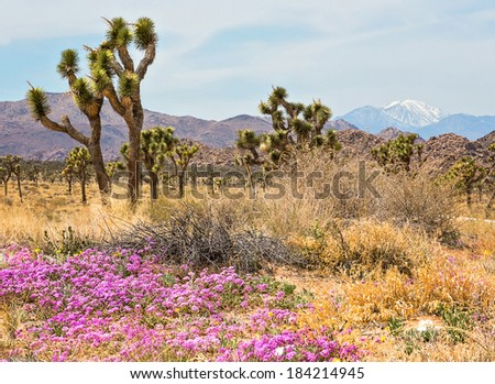 Joshua Tree National Park in the spring with wild flowers and snow capped mountains in the background - stock photo
