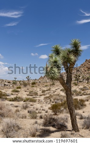 Joshua Tree on its scientific name Yucca brevifolia is a plant species belonging to the genus Yucca. It thrives in Joshua Tree National Park but can also in the states of Arizona, Utah and Nevada. - stock photo
