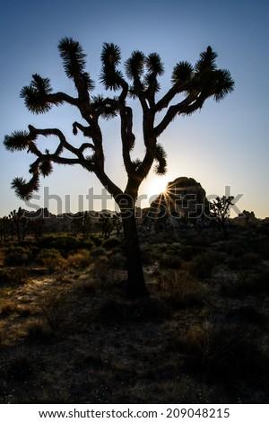Joshua Tree silhouetted during sunset with star burst sun - stock photo