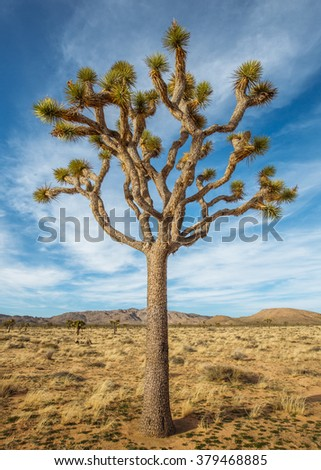 Joshua Tree Standing in the National Park - stock photo