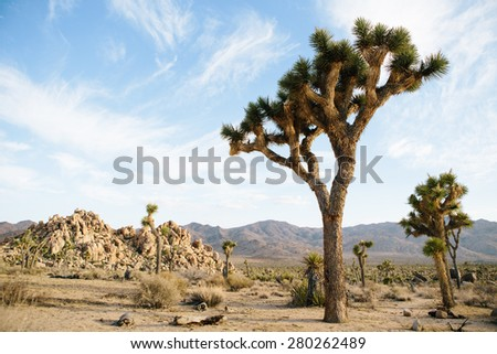 Joshua Tree stands in desert of southern California near Yucca Valley. - stock photo