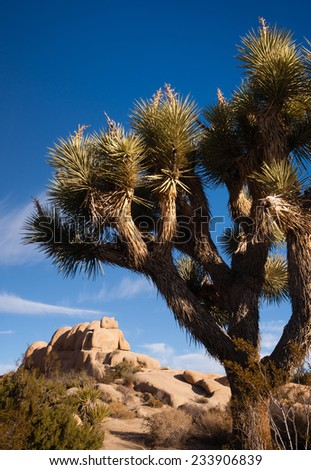 Joshua Tree Sunrise Cloud Landscape California National Park - stock photo