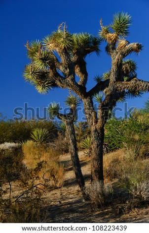 joshua tree warm light - stock photo