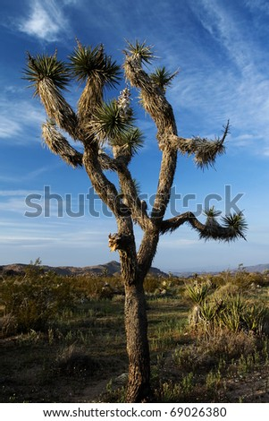 Joshua tree - Yucca brevifolia - in Joshua Tree National Park, California - stock photo