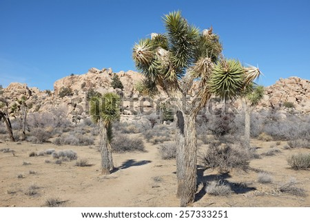 Joshua tree (Yucca brevifolia) is native to southwestern North America in the states of California, Arizona, Utah, and Nevada, where it is confined mostly to the Mojave Desert. - stock photo