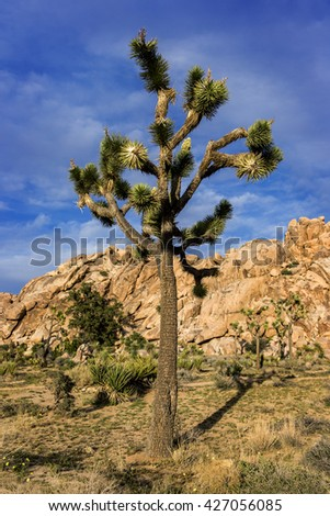 Joshua Tree, yucca. mountains in the back.