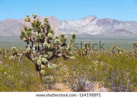 Joshua Trees in Joshua Tree National Park, California, USA - stock photo