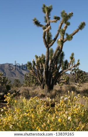 Joshua trees in Mojave desert, California - stock photo