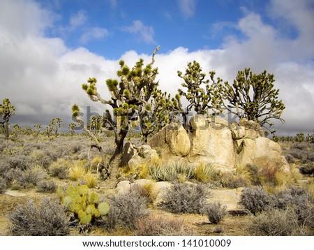 Joshua trees in stormy desert - stock photo