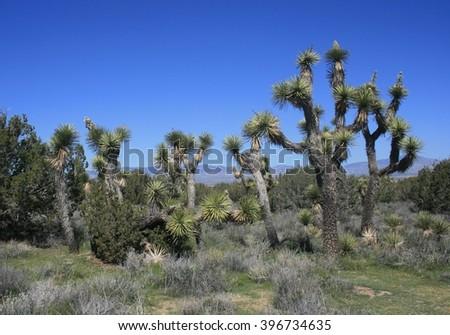 Joshua trees in the high desert near Lancaster, CA - stock photo
