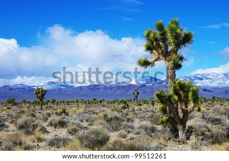 Joshua Trees in the high desert of Nevada with snow covered mountains in the distance - stock photo