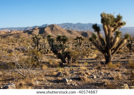 Joshua Trees, Yucca brevifolia, grow in the Mojave Desert of southwest California, Nevada, Utah and Arizona, at elevations from 2,000 to 6,000 feet.