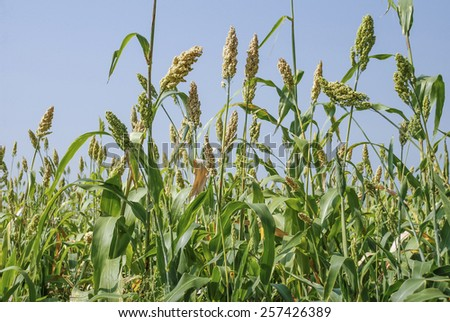 Jowar - A traditional crop of India. - stock photo