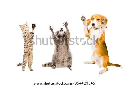 Joyful cat, raccoon and dog isolated on white background - stock photo