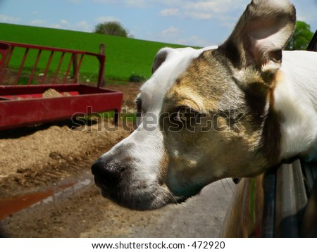 Joyride - dog sticking head out car window and enjoying the ride - stock photo