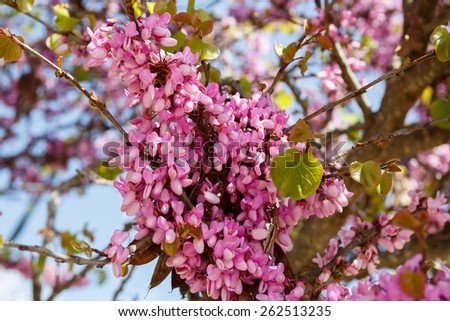 Judas tree (Cercis siliquastrum) in Judea at Har Hebron isolated on white background - stock photo