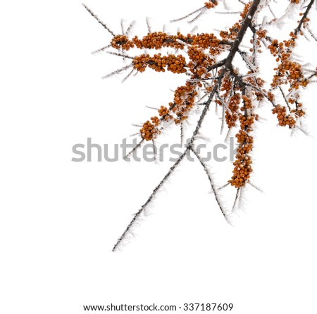 Juicy berries seabuckthorn with frozen ice crystals on white background