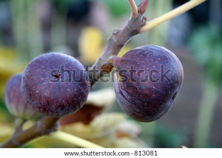 Juicy Figs - stock photo
