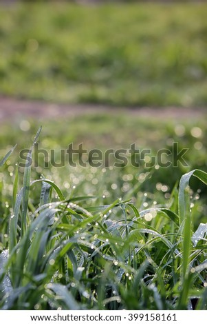 Juicy green grass covered with sparkling drops of morning dew - stock photo