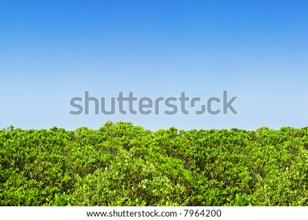 juicy green hedge row in front of a perfect blue sky.. ..well actually its the upper part of a mangrove forest but it looks pretty much like a hedge to me ;) - stock photo