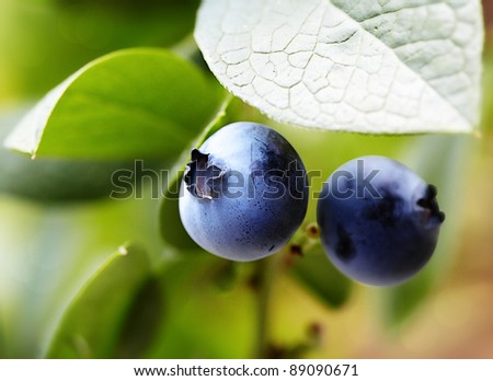 Juicy Highbush Blueberries Ripening On The Bush, Full Of  Chemopreventive Phytochemicals, Such As Resveratrol, Pterostilbene, Anthocyanins and Proanthocyanidins, That Prevent Inflammation and Cancer - stock photo
