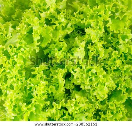 Juicy lettuce macro texture background - stock photo